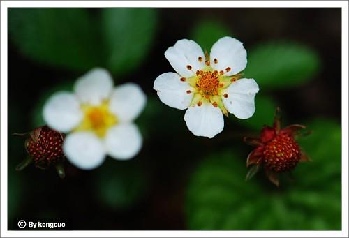 【图】东方草莓
