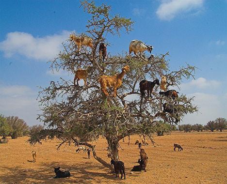 Climbing Goats in Morocco