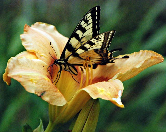 day lily pale orange with swallowtail butterfly 2 8x10 bp