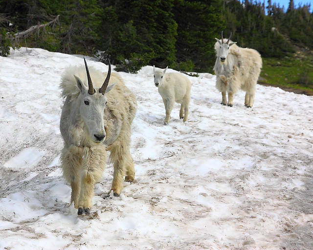 IMG_4642 Mountain Goats, Glacier National Park
