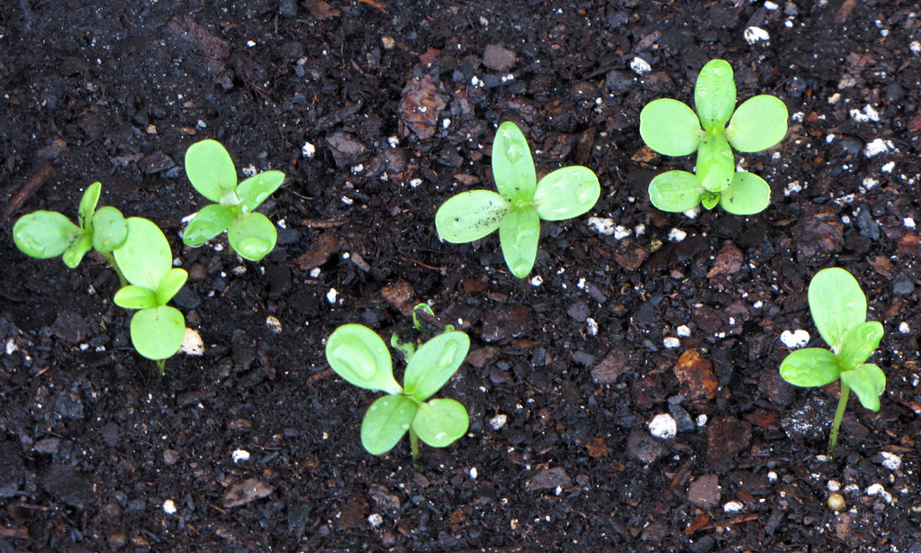Zinnia Seedlings