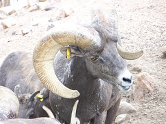 sheeps(0.0), sheep(0.0), cattle-like mammal(1.0), animal(1.0), argali(1.0), mammal(1.0), horn(1.0), barbary sheep(1.0), fauna(1.0), mountain goat(1.0), wildlife(1.0),