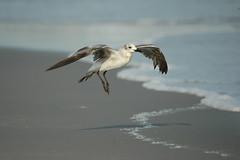 Sea Gull-0651