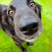 Mikey - Flat Coated Retriever