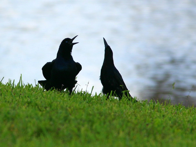 Boat-tailed Grackle Dance2 20100730