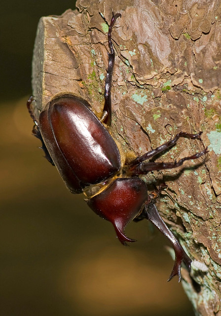 Rhinoceros Beetle Climbing Down Tree Trunk
