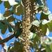 Munroidendron racemosum