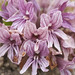 California broomrape - Photo (c) Eric in SF, some rights reserved (CC BY-NC)