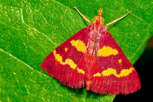 insect adult moth lepidoptera crambidae pyrausta tyralis coffeelovingpyraustamoth