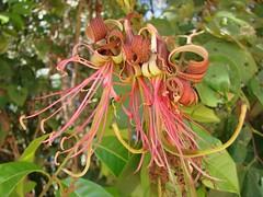 honeysuckle, flower, leaf, tree, plant, flora,