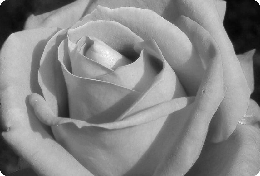 Rosa Roja En Blanco Y Negro Wwwfotografiasdegrancanariac Flickr
