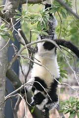 animal, fauna, lemur, wildlife,