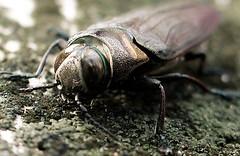 japanese rhinoceros beetle(0.0), arthropod(1.0), scarabs(1.0), animal(1.0), invertebrate(1.0), insect(1.0), macro photography(1.0), fauna(1.0), close-up(1.0), beetle(1.0), wildlife(1.0),