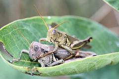 arthropod, locust, animal, cricket, invertebrate, insect, macro photography, grasshopper, fauna, close-up,