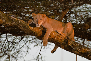 Lion on a tree