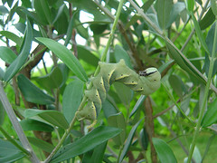 Acherontia atropos (Larva)
