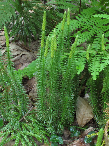 lycopodiumannotinum gilbertlakestatepark spinulumannotinum