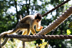 animal, monkey, nature, mammal, squirrel monkey, fauna, old world monkey, new world monkey, jungle,