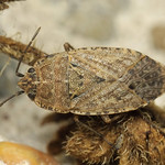 homoki gyepibodobács - Emblethis griseus