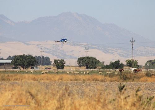 california horse unitedstates sheep aircraft aviation helicopter northamerica agriculture telephonepole centralvalley cropduster mountdiablo cropdusting sanjoaquincounty canonef70300mmf456isusm canoneos50d