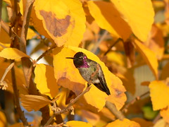 Anna's Hummingbird in Witch Hazel