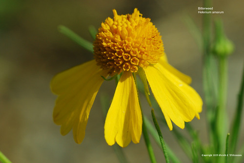 Bitterweed, Yellowdicks - Helenium amarum
