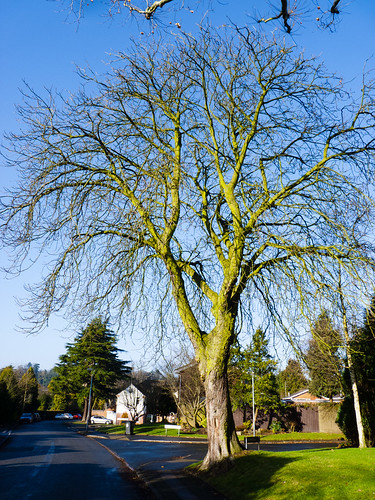Horse chestnut in winter