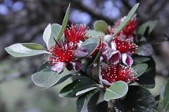 Acca sellowiana - Photo (c) cskk, algunos derechos reservados (CC BY-NC-ND)