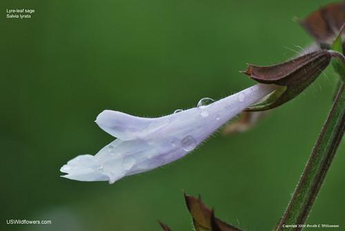 Lyreleaf Sage - Salvia lyrata