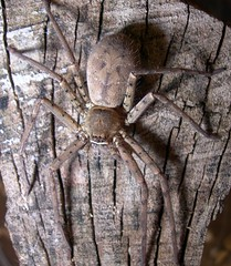 Huntsman spider (female)