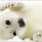 Baby Harp Seal Food
