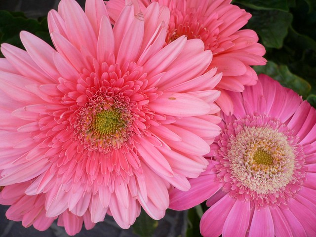 Barberton Daisy (Gerbera jamesonii)