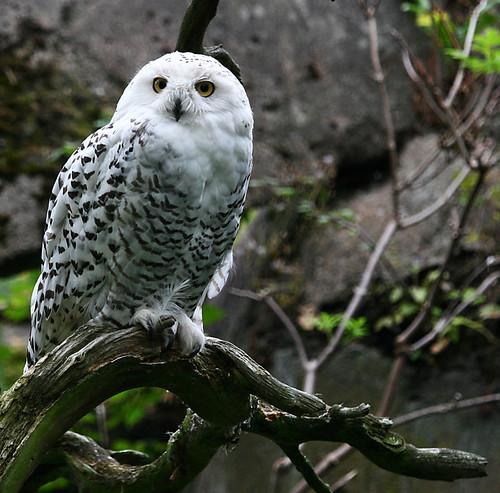 Fjälluggla - Bubo scandiacus - Snowy Owl