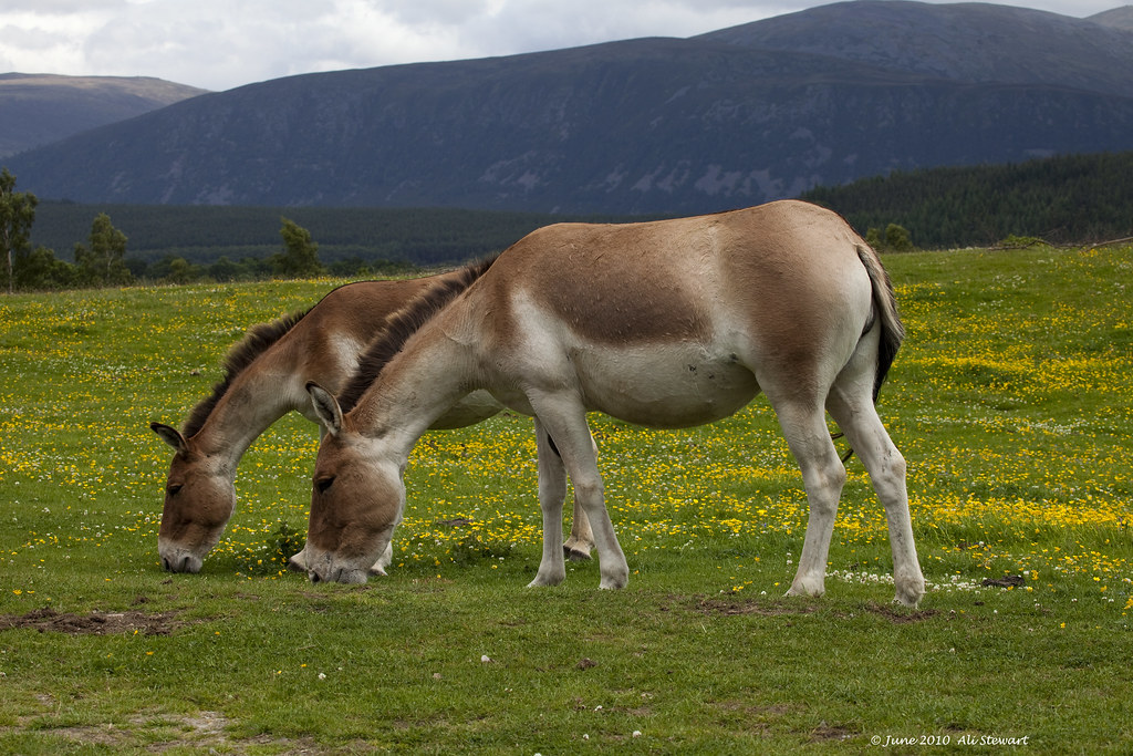 Kiang Tibetan Wild Ass The Kiang Is The Largest Of The W