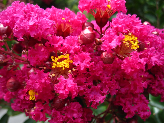 Crape-myrtle (Lagerstroemia indica) blooms at the bottom of the stairs leading to the Osborne Garden. Photo by Rebecca Bullene.