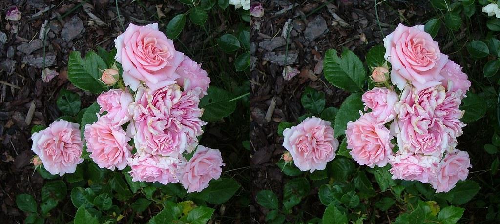 Rose Is A Rose Is A Rose Is A Rose (Even In 3D)