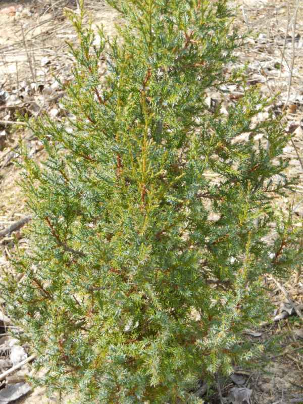 Juniperus chinensis.. v 1