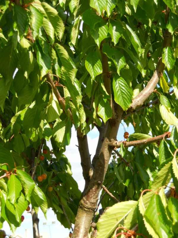 Prunus avium v 5