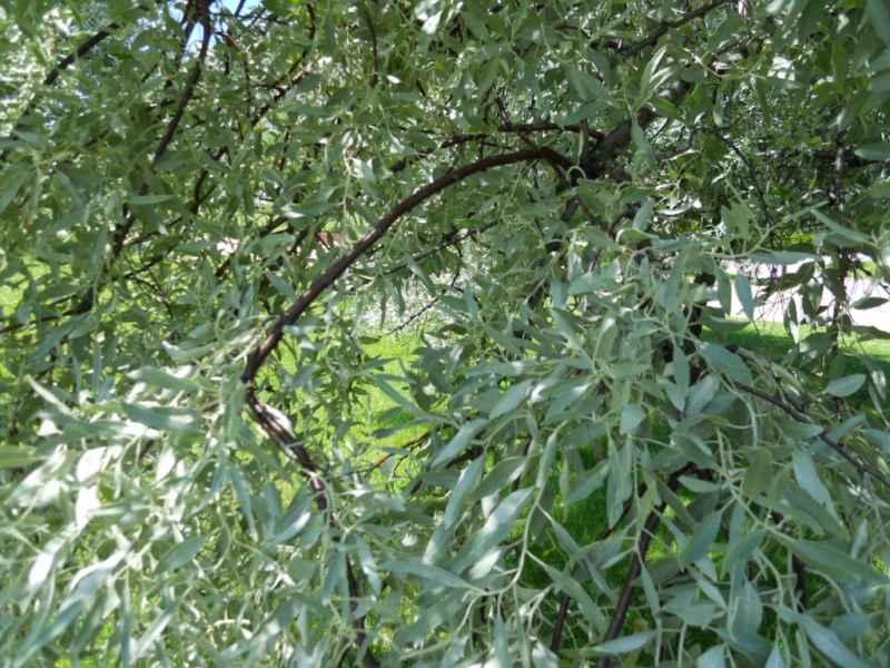 Pyrus salicifolia 3