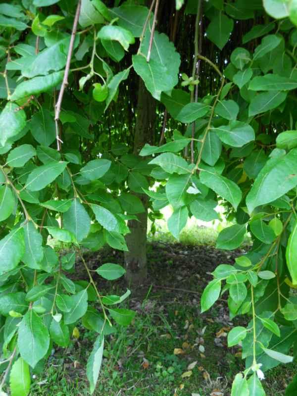 Salix caprea 'Pendula' v 2