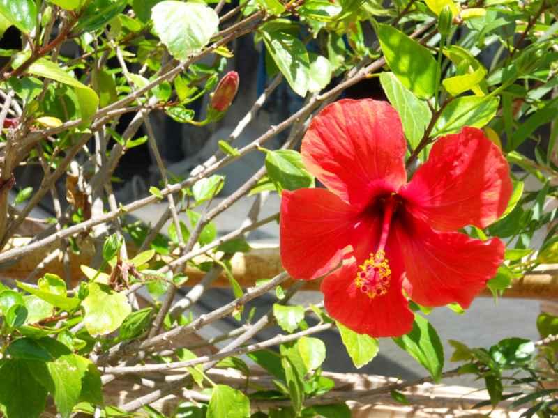 Hibiscus rosa sinensis 'Bordeaux' flor 1