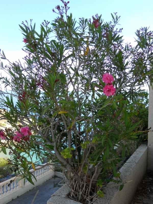 Nerium oleander 'Spendens Giganteum' v 1