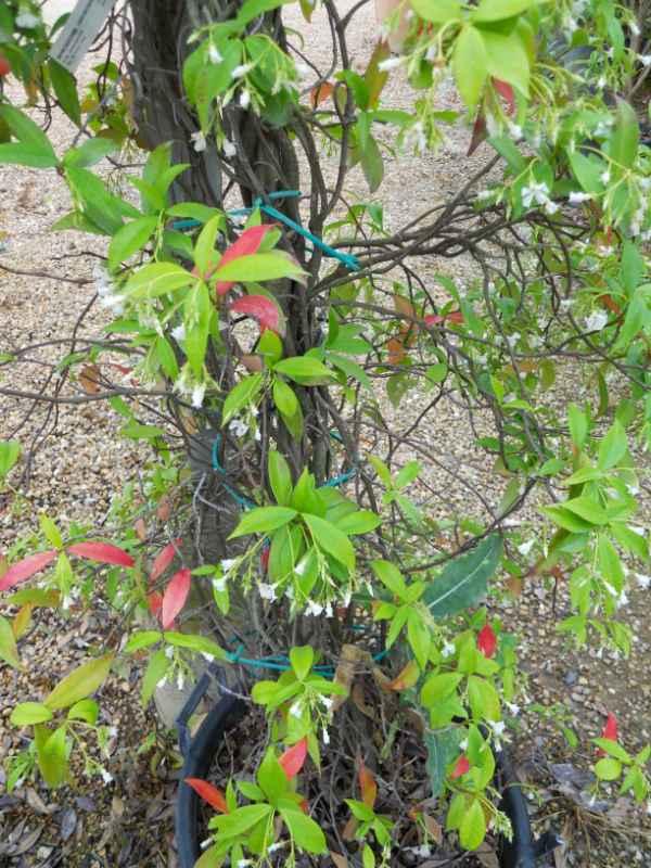 Rhyncospernum jasminoides v 1