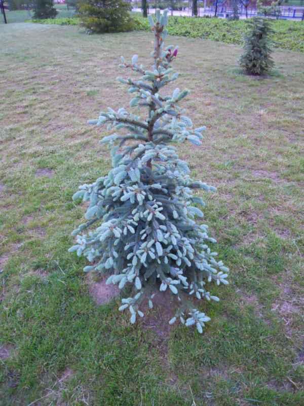 Abies procera 'Glauca' árbol v 1