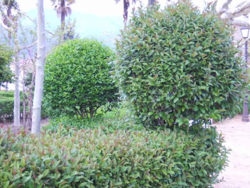 Ligustrum japonicum topiaria 4