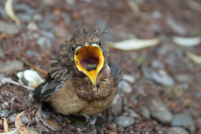 how to know when a baby bird is hungry