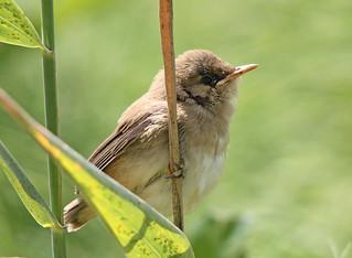 Fledgling Reed Warbler