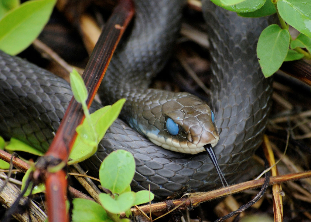 Black Racer Snake In The Blue