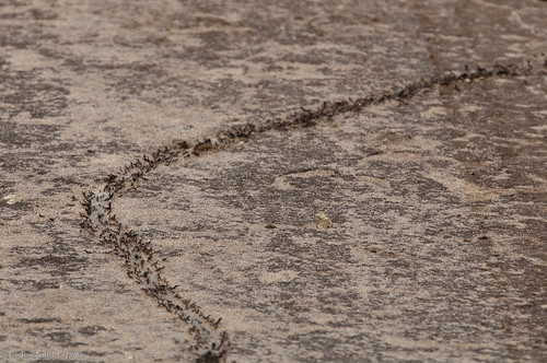 Army safari ants, Shimba Hills