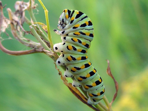 Eastern Swallowtail Caterpillar With Its Head And Front Legs Up